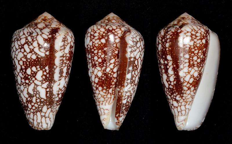 Conus (Darioconus) episcopus marmoricolor   Melvill, 1900 Pennac12