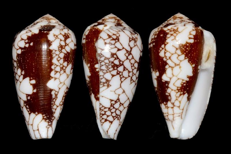 Conus (Darioconus) episcopus marmoricolor   Melvill, 1900 Pennac13