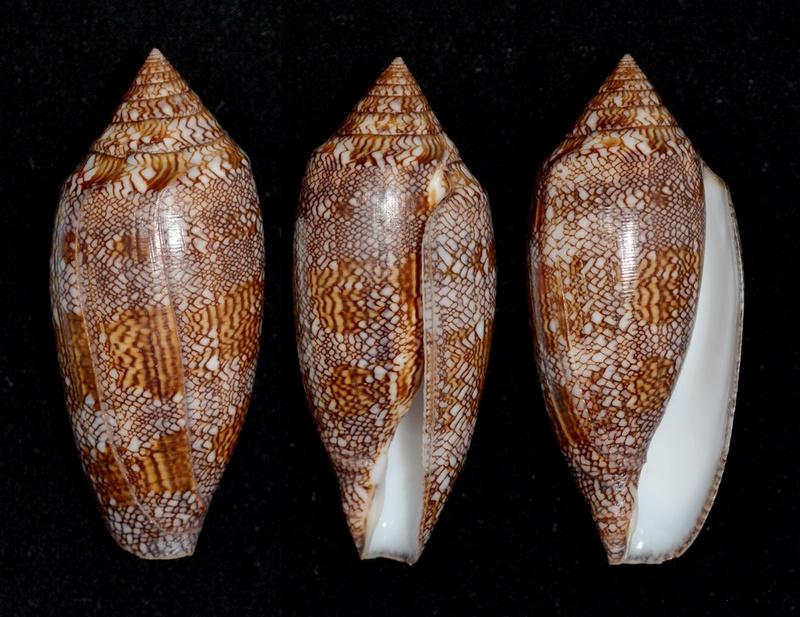 Conus (Cylinder) archiepiscopus pyramidalis   Lamarck, 1810 Textil10