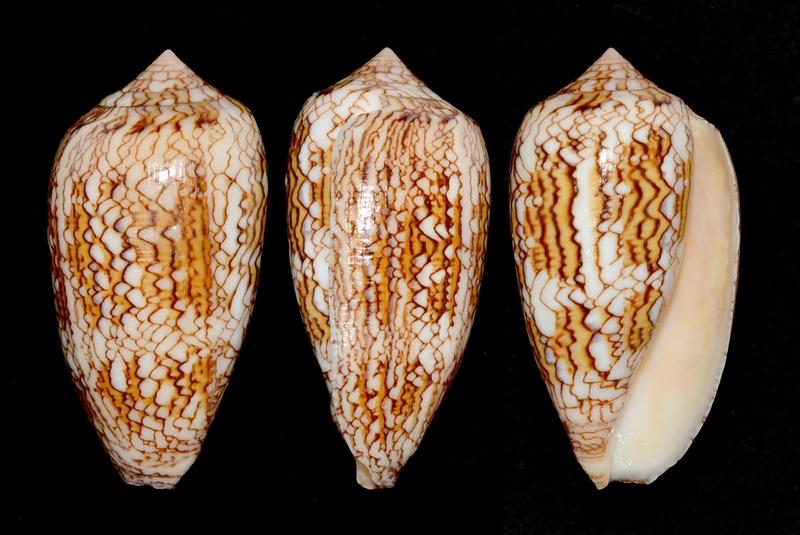 Conus (Cylinder) textile anakaoensis Linnaeus, 1758 ??? Textil11