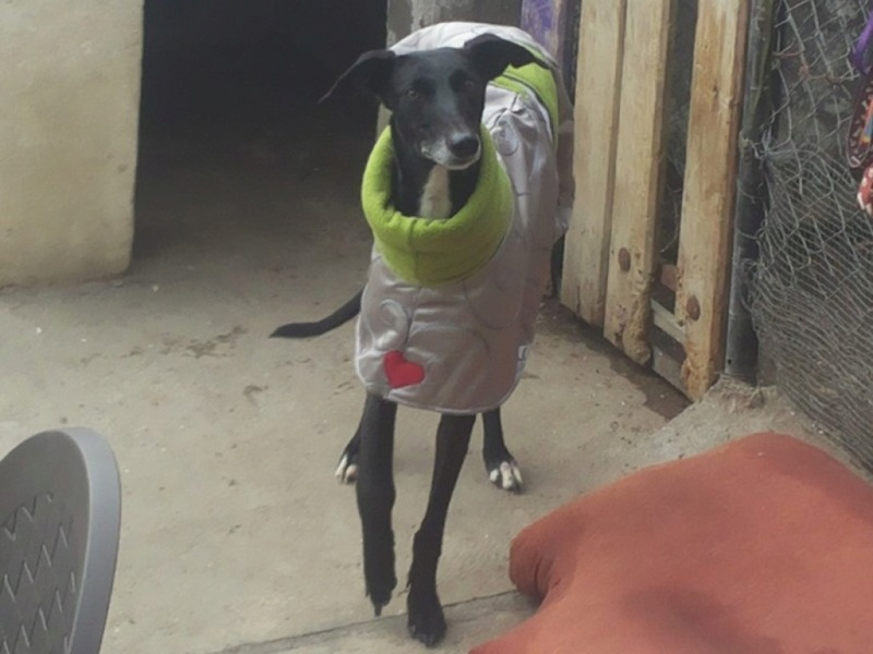 Tavita (Luisi), galga noire de 4 ans 20171210