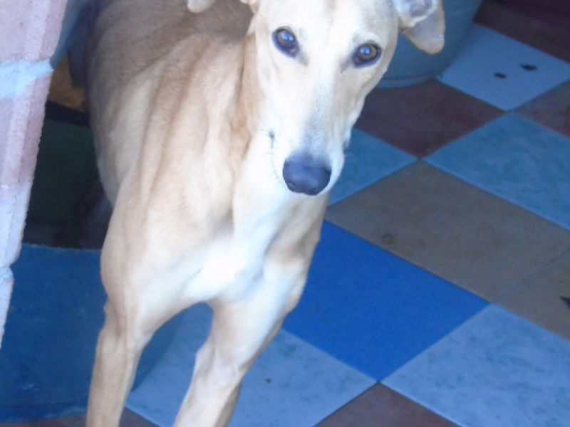 Osiby, galgo beige de 3 ans 1/2 Dsc09210