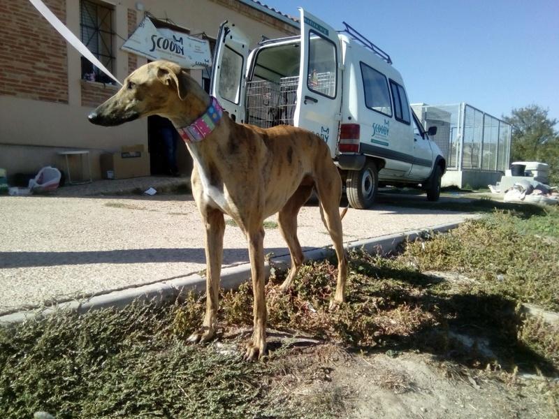 Sacha, galga bringée de 2 ans Adoptée Img_2024
