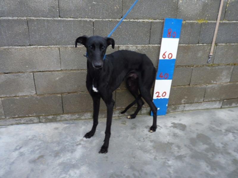 Moro, galgo noir de 2 ans Adopté  P1540117
