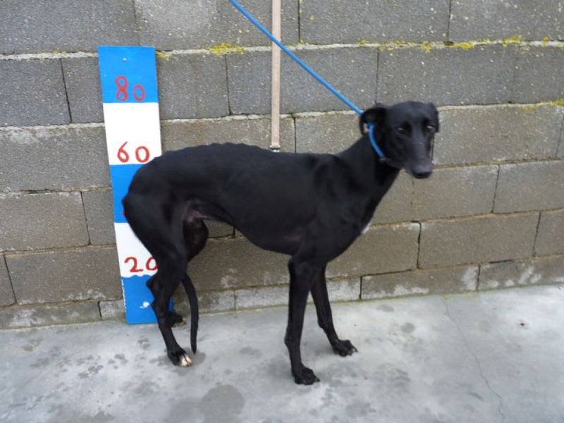 Moro, galgo noir de 2 ans Adopté  P1540118