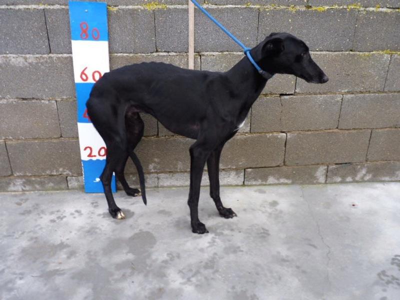 Moro, galgo noir de 2 ans Adopté  P1540120