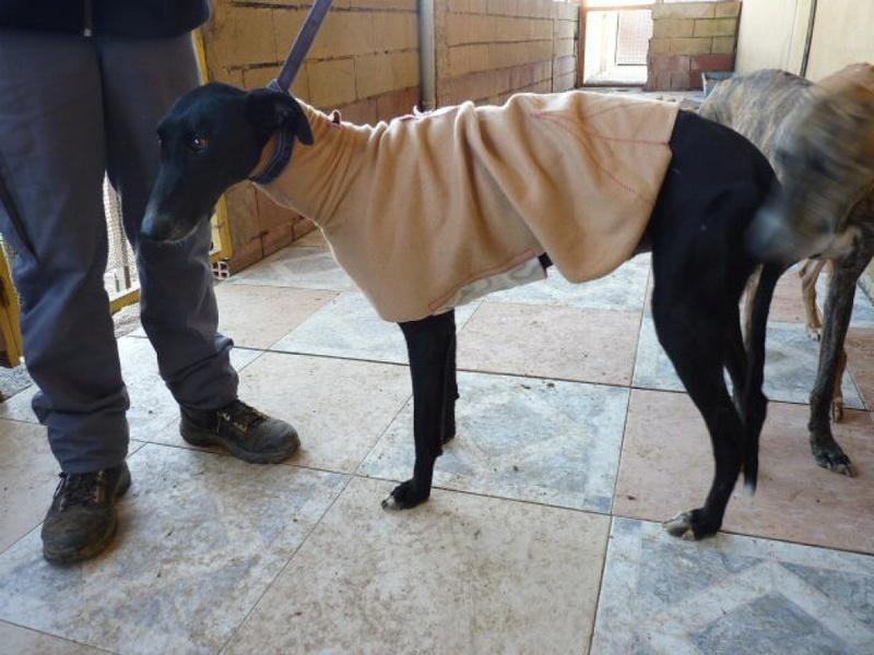 Scooby, galgo noir de 2 ans P1540921