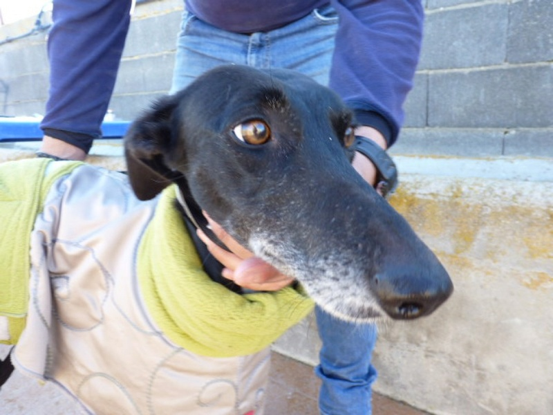 Tavita (Luisi), galga noire de 4 ans P1550117