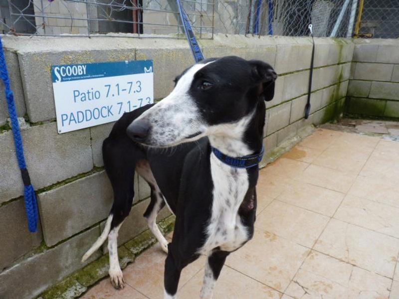 Lili, galga noire et blanche de 4 ans P1550415