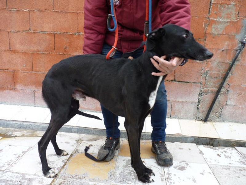 Ramos, galgo noir de 4 ans P1560327