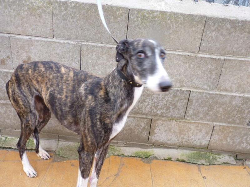 Kalesi, galga bringée de 5 ans Scooby France Adoptée  P1560417