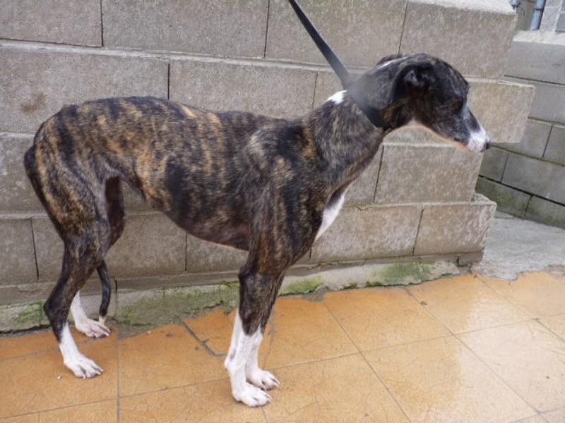 Kalesi, galga bringée de 5 ans Scooby France Adoptée  P1560419