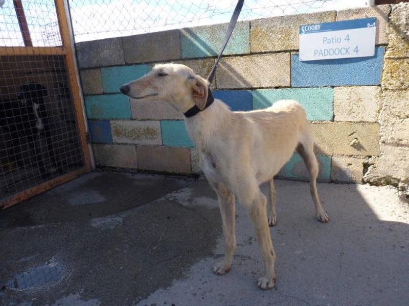 Rosana, galga beige de 2 ans P1570618