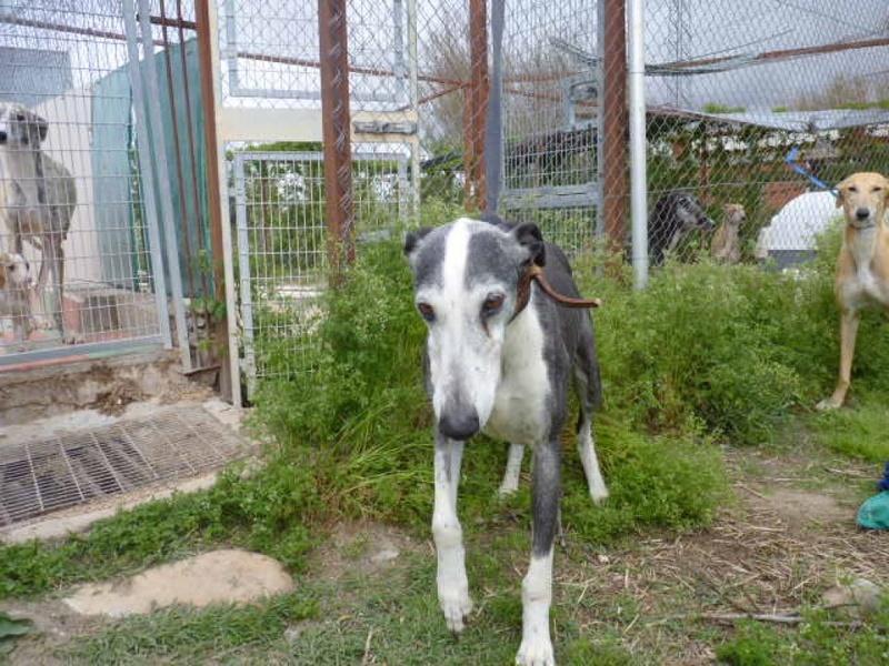 Rayo, galgo noir et blanc de 7 ans P1570723