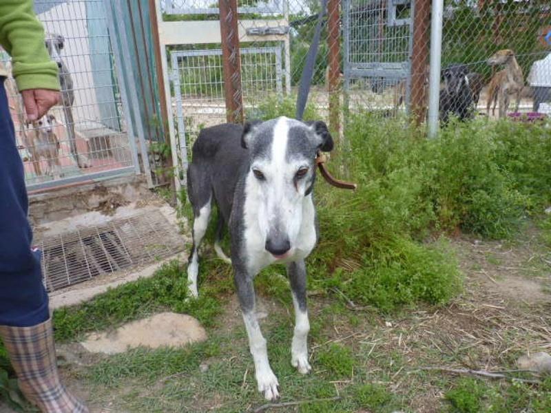 Rayo, galgo noir et blanc de 7 ans P1570725