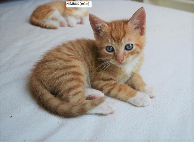 nimbus - NIMBUS, chaton roux et blanc, né vers le 25/08/17 Dsc_0058