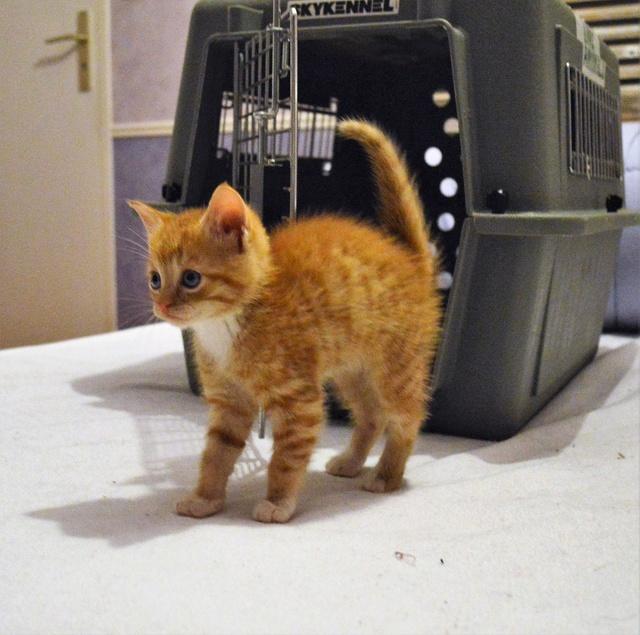 nimbus - NIMBUS, chaton roux et blanc, né vers le 25/08/17 Dsc_0059