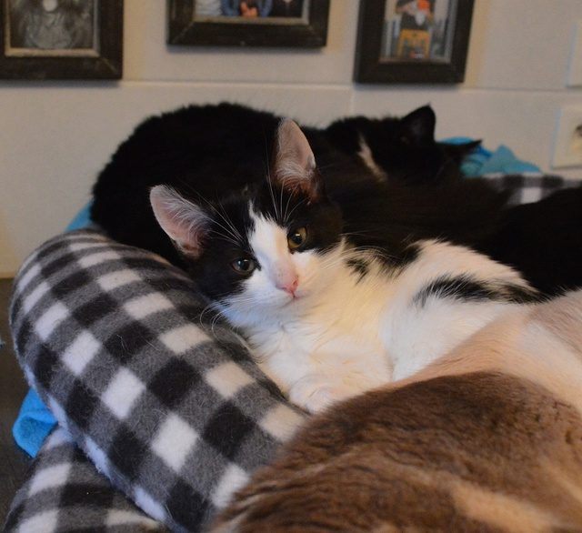 NELSIE, chatonne noire et blanche, née début Octobre 2017 Dsc_0157