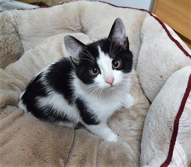 NELSIE, chatonne noire et blanche, née début Octobre 2017 Dsc_0161