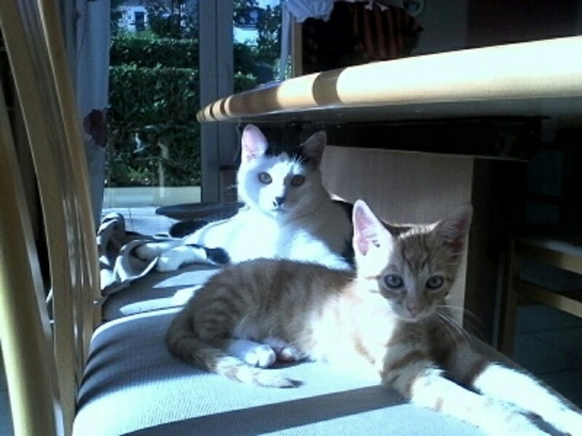 nimbus - NIMBUS, chaton roux et blanc, né vers le 25/08/17 Img_2011