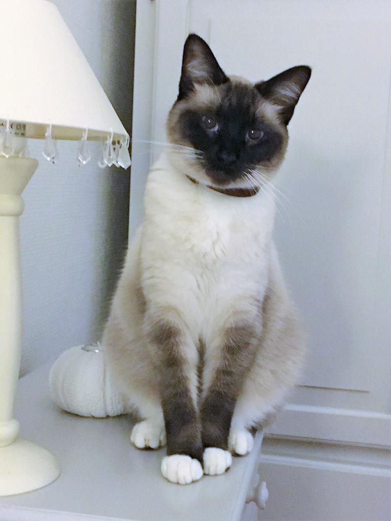 muesli - MUËSLI, chaton mâle croisé siamois, né le 05.04.16 Muesli10