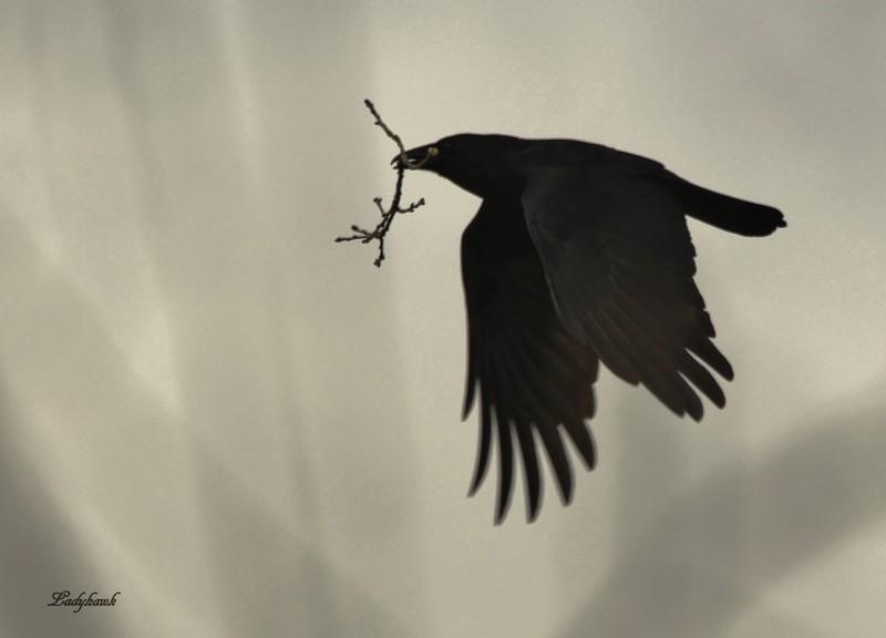 le temps des nids Corbea11
