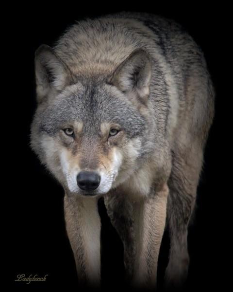 le loup Img_1410