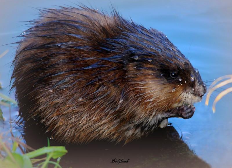 le rat d'eau Img_4010