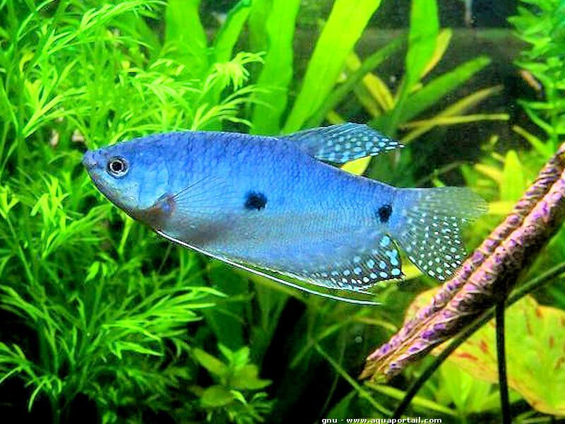 Besoin d aide pour differenciation gourami bleu Tricho10