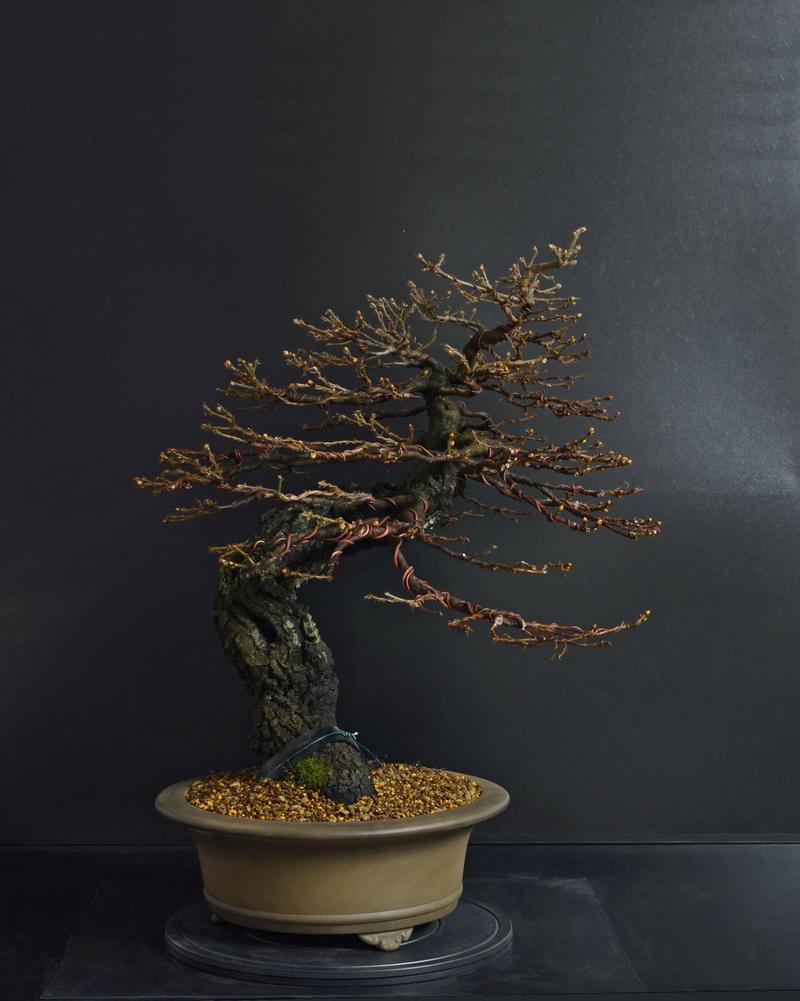 Quercus cerris - Pagina 8 2--rin12