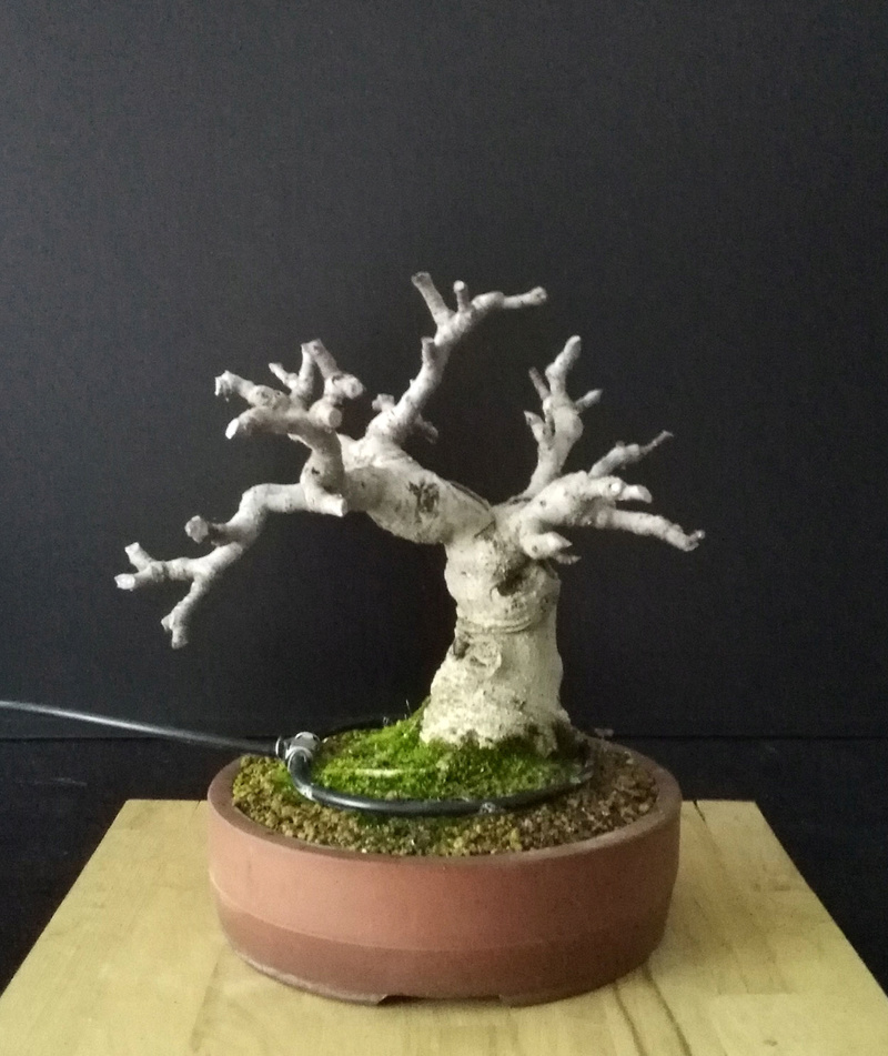 Ficus-Carica - Pagina 10 Cut_ba10