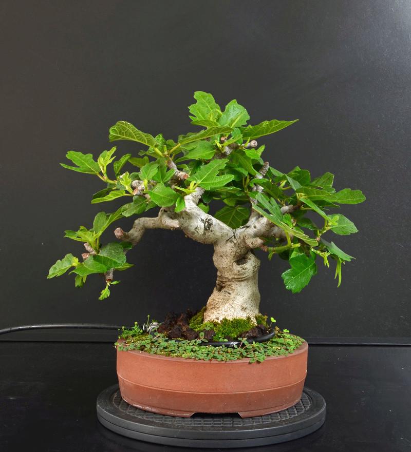 Ficus-Carica - Pagina 11 Fronte17