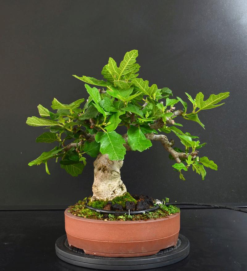 Ficus-Carica - Pagina 11 Retro_14