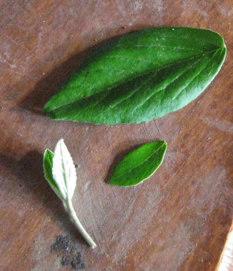 Viburnum Inter-node and Leaf Reduction Technique  Img_2610