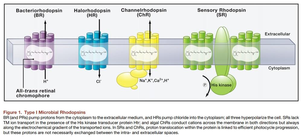 Origin of phototransduction, the visual cycle, photoreceptors and retina  Microb10