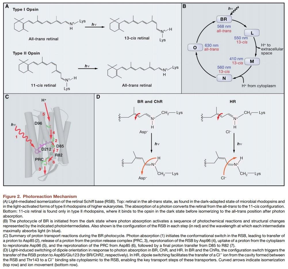 Origin of phototransduction, the visual cycle, photoreceptors and retina  Microb11