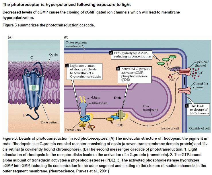 Origin of phototransduction, the visual cycle, photoreceptors and retina  Photot11