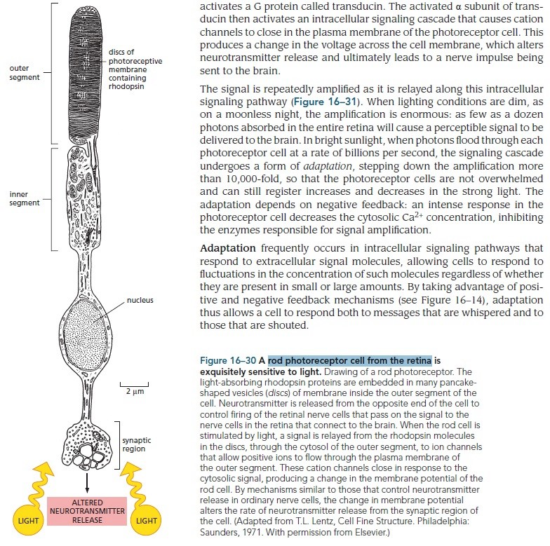 Origin of phototransduction, the visual cycle, photoreceptors and retina  Rod_ph12