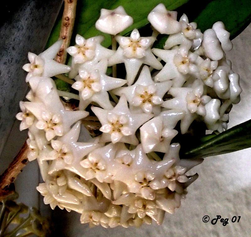 Blüten 2018 H_macg10