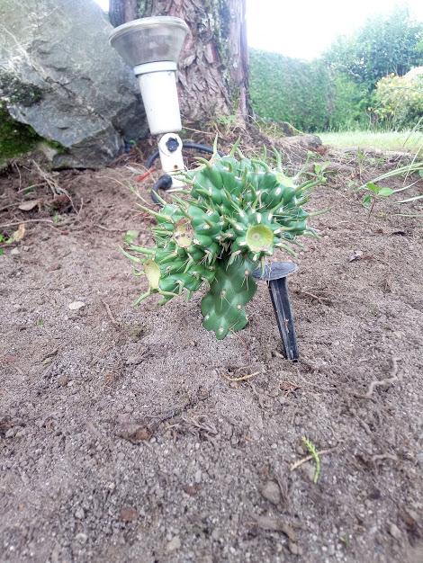 bouturage segment cactus Cactus11