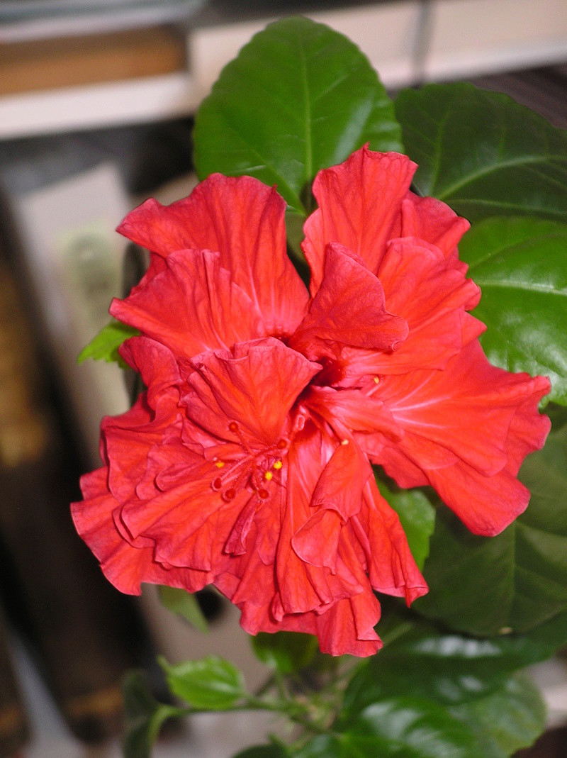 Hibiscus  rouge  - Page 2 Imgp0092