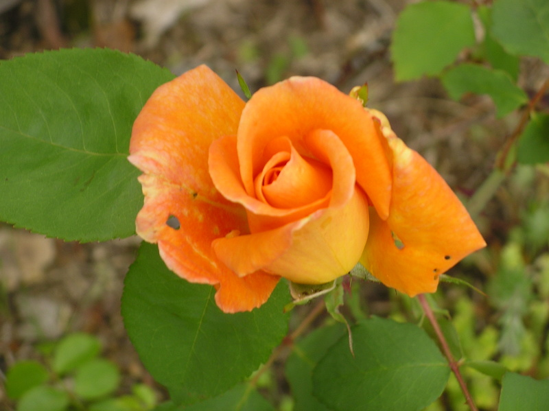 rosa 'lady of shalott' - Page 4 Imgp0093