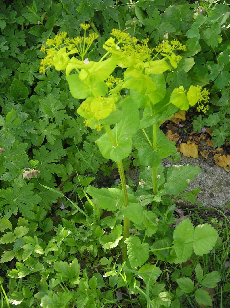 sauvage ou pas??pas PANAIS sauvage;Smyrnium perfoliatum subsp Imgp0178