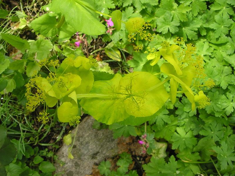 sauvage ou pas??pas PANAIS sauvage;Smyrnium perfoliatum subsp Imgp0179