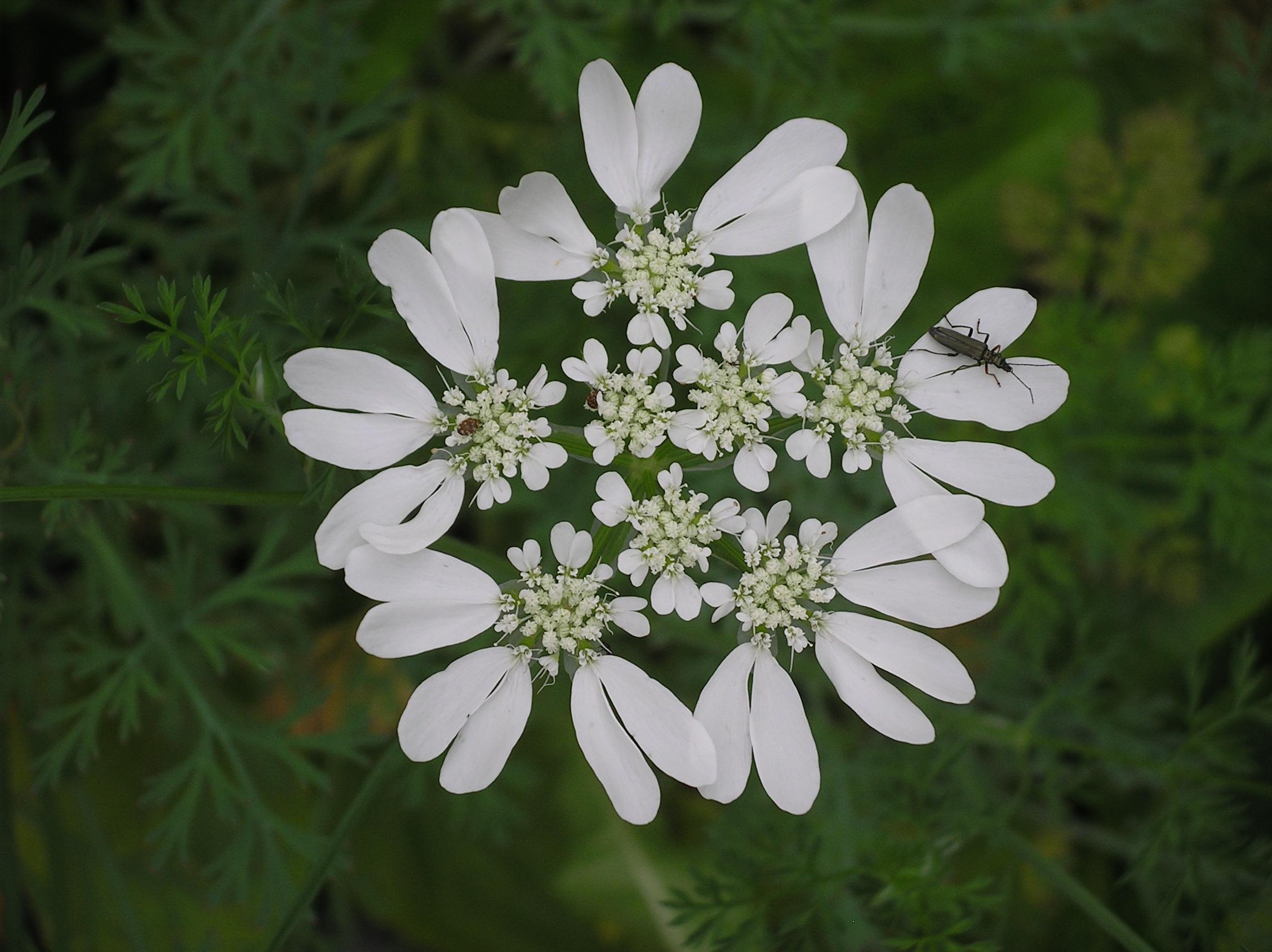 qui est cette fleur blanche? orlaya!  Imgp0266