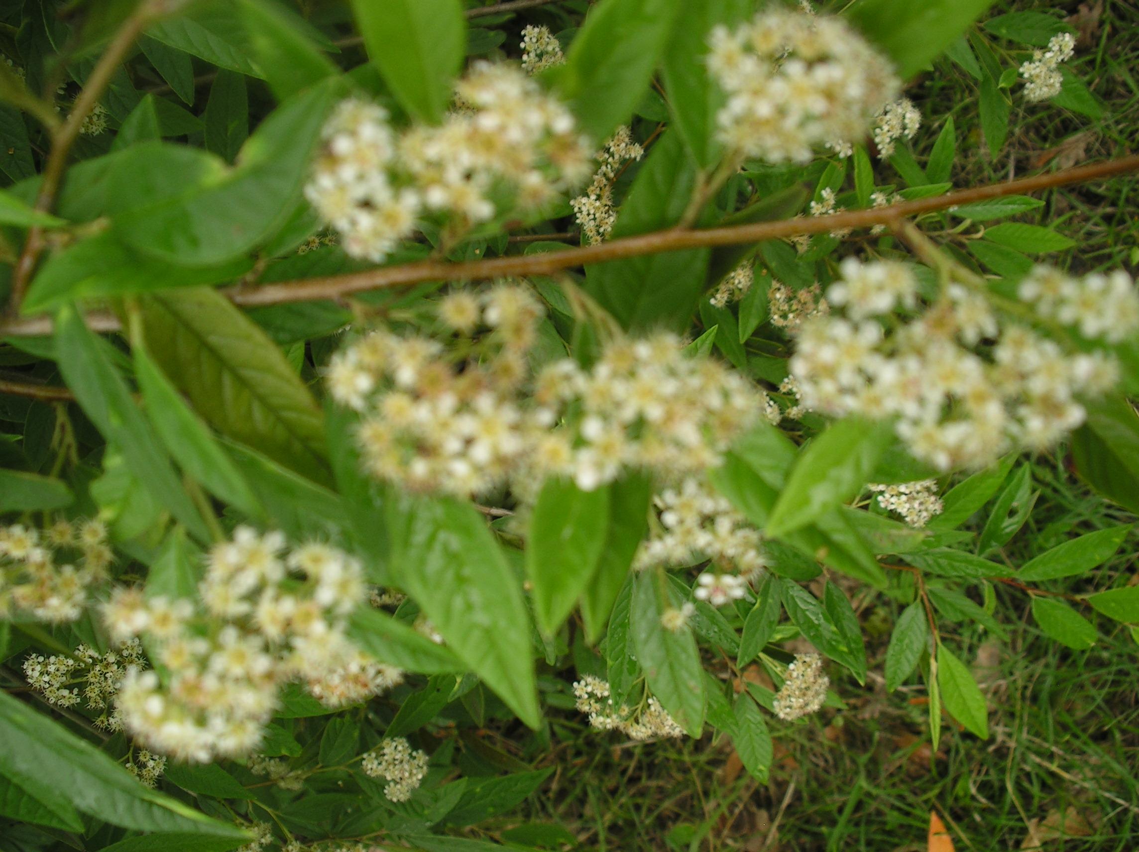 autre arbuste à fleurs blanches: cotoneaster salicifolia Imgp0271