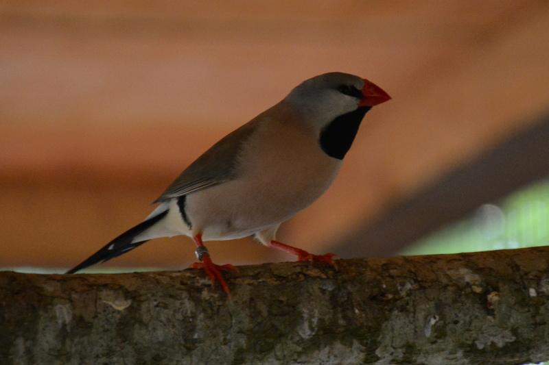 Mes autres oiseaux.  Csc_0410