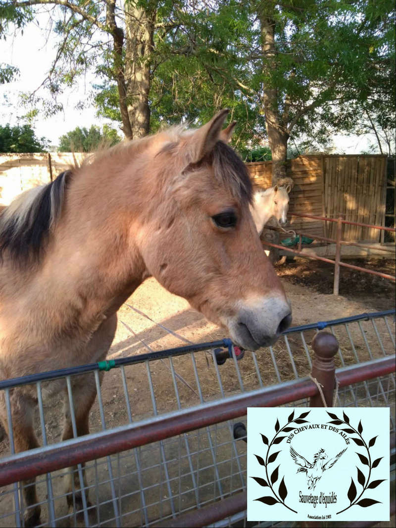Dept 13 , Dior poney ONC type fjord né en 1998 , replacement urgent , contact Girasol Www_ki50