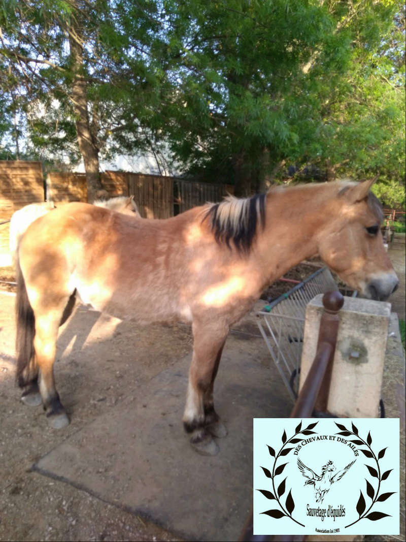 Dept 13 , Dior poney ONC type fjord né en 1998 , replacement urgent , contact Girasol Www_ki51