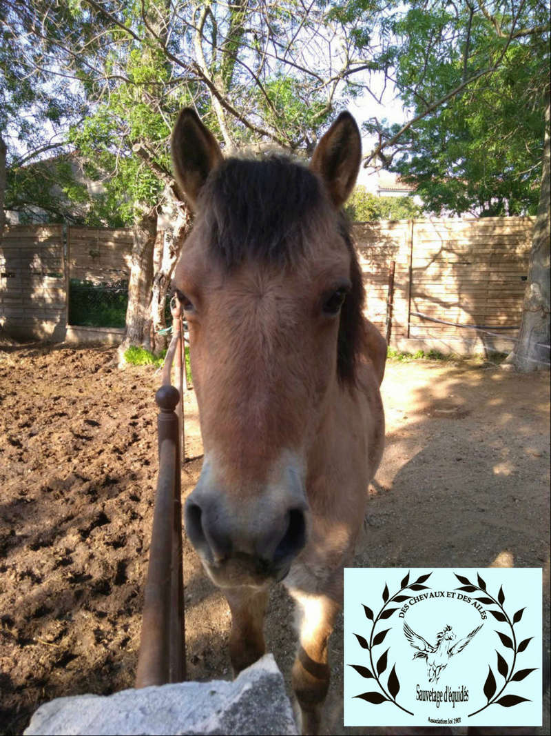 Dept 13 , Dior poney ONC type fjord né en 1998 , replacement urgent , contact Girasol Www_ki52